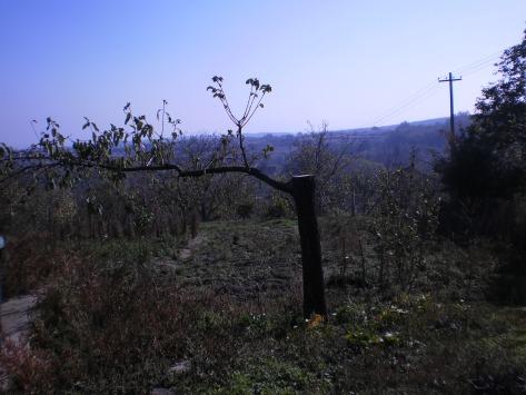 владина и драгичина трешња у башти, расте према северу, новембар 2013.